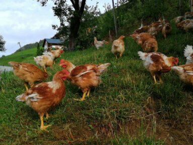 Hühner auf der Bergwiese